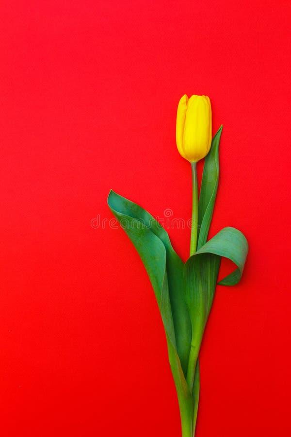 在红色背景的一黄色郁金香 免版税库存图片