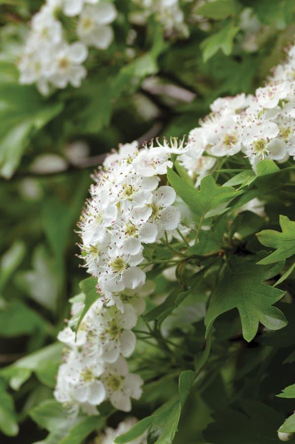 在绽放、狂放的白色oneseed whitethorn开花和叶子,进展的头状花序的共同的山楂树山楂属monogyna灌木树 免版税库存图片