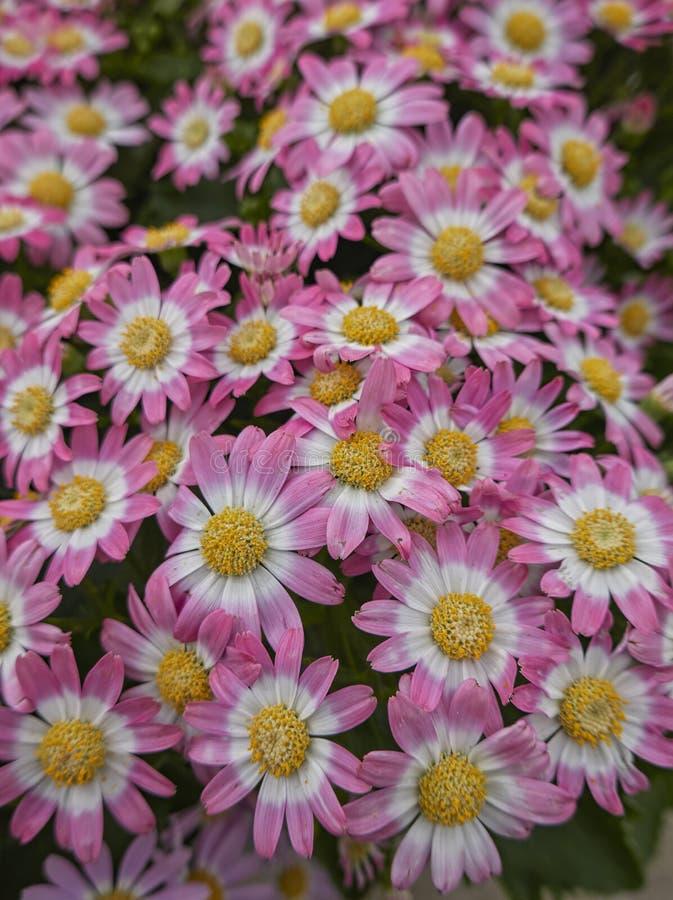 在绽放的桃红色雏菊 免版税图库摄影