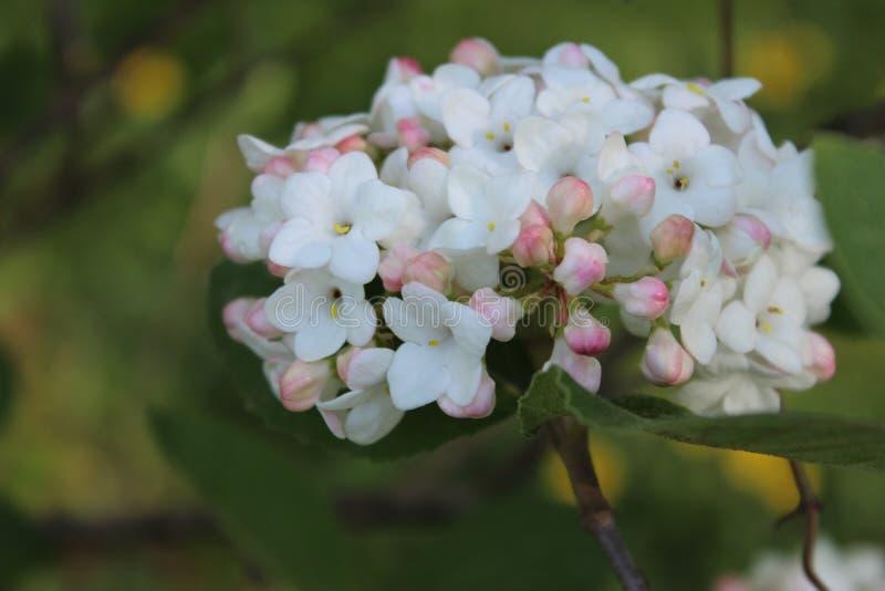在绽放的白色淡紫色花 库存照片
