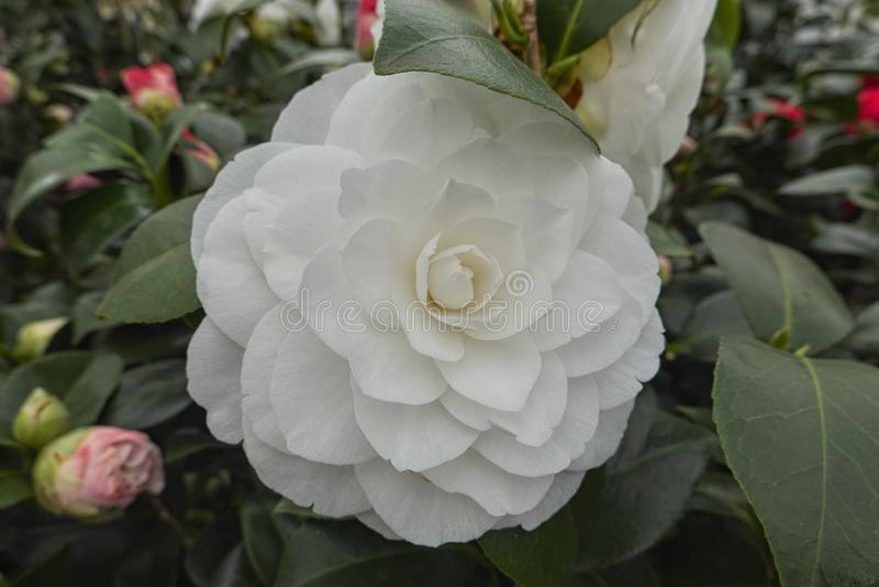 在绽放的白色peonia花 库存照片