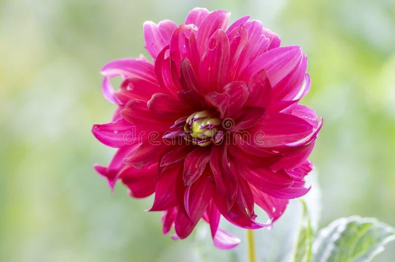 在绽放,美丽的开花植物的大丽花红色装饰花在庭院里 免版税库存照片