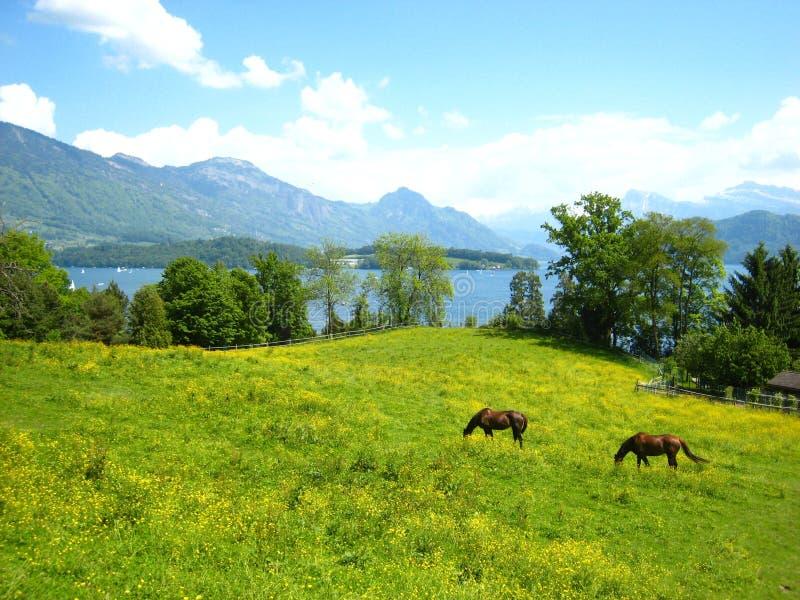 在绿松石瑞士湖的美丽的景色有积雪的山、游艇、风船和两匹棕色马的在美丽 免版税库存照片
