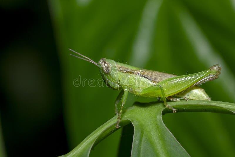 在绿色叶子的蚂蚱本质上 库存图片