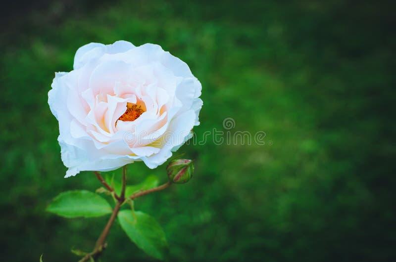 在绿色自然本底的美丽的开花的孤独的玫瑰 安置文本 库存照片