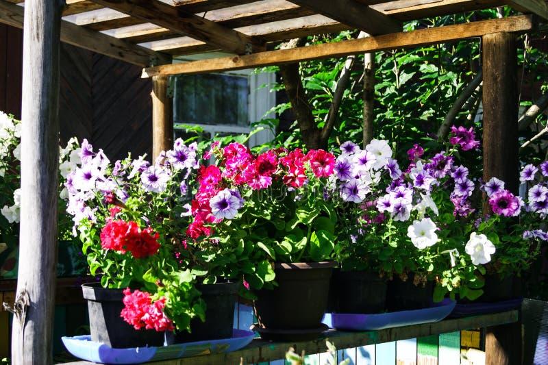 在罐的开花的明亮的喇叭花外部在夏天 免版税库存图片