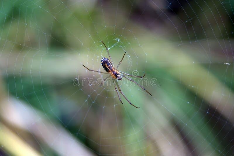 在网的微小的蜘蛛 免版税图库摄影