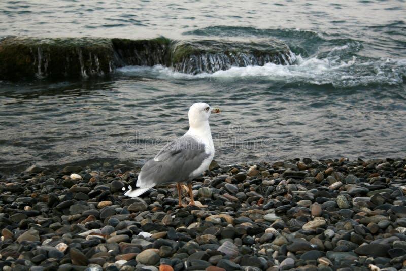 在石头的海鸥在海在一阴天 免版税库存照片