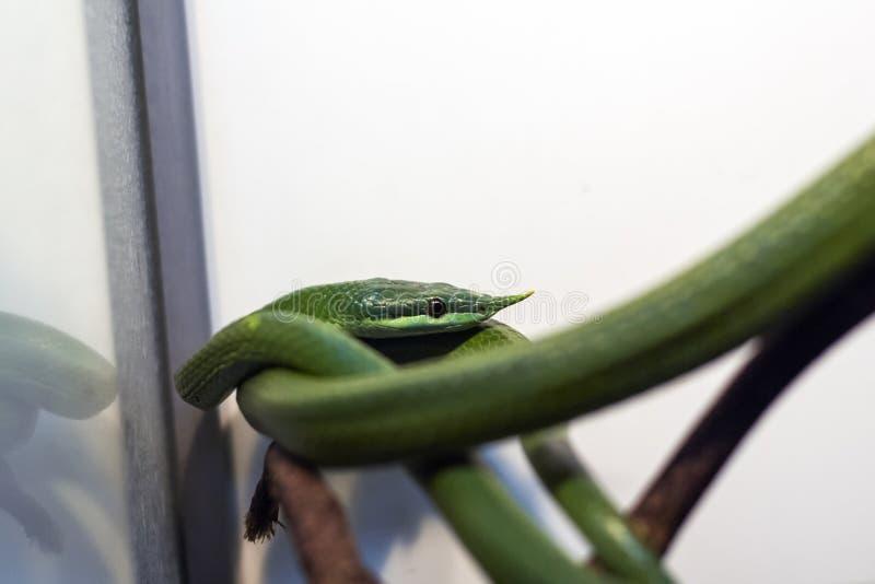 在玻璃容器的异乎寻常的蛇 库存照片