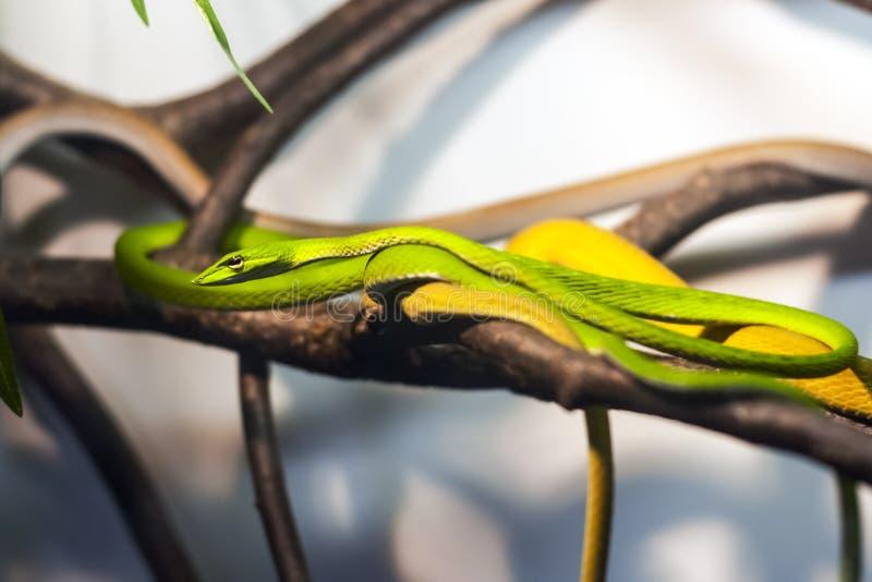 在玻璃容器的异乎寻常的蛇 库存图片