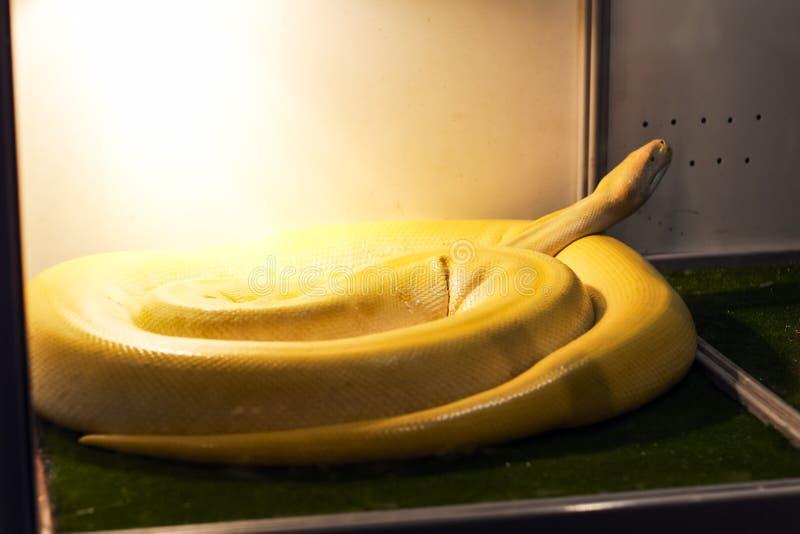 在玻璃容器的异乎寻常的蛇 图库摄影