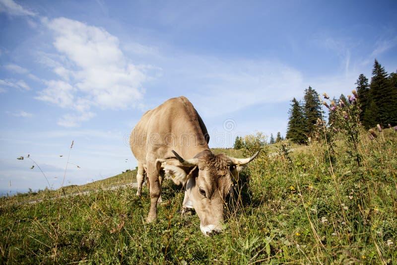 在牧场地的奶牛夏令时 库存图片