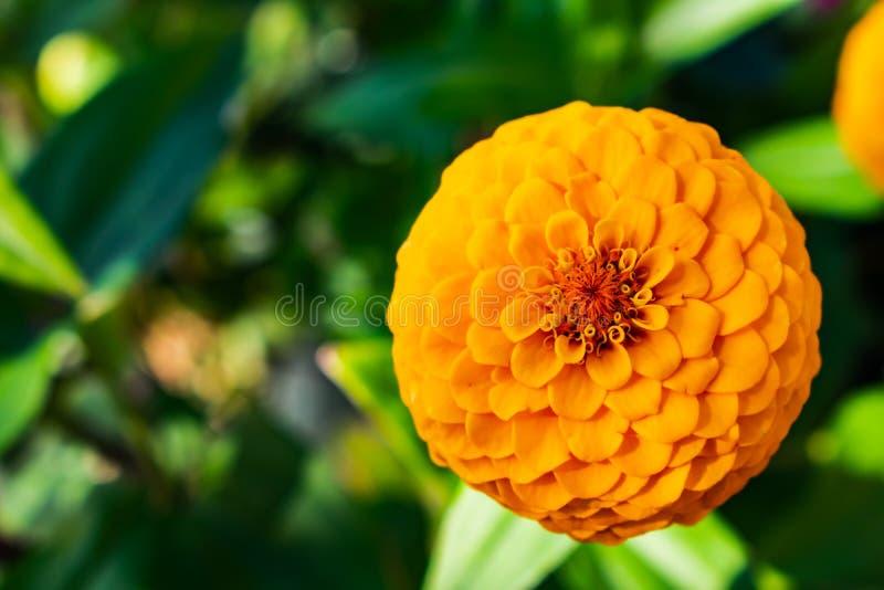 在特写镜头的美丽的橙色开花 免版税库存图片