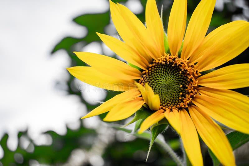 在盛开的黄色向日葵在天空蔚蓝前面 免版税库存图片