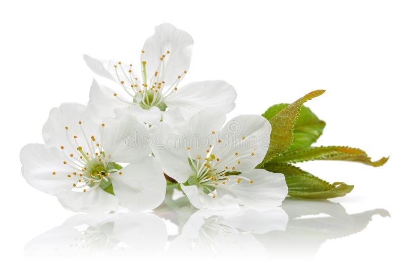 在白色和叶子隔绝的樱花 免版税库存照片