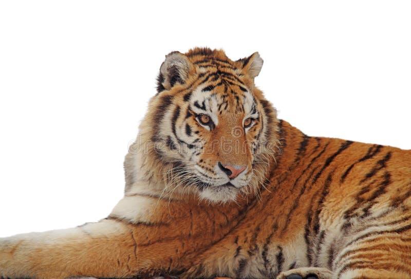 在白色的被隔绝的老虎画象 库存照片
