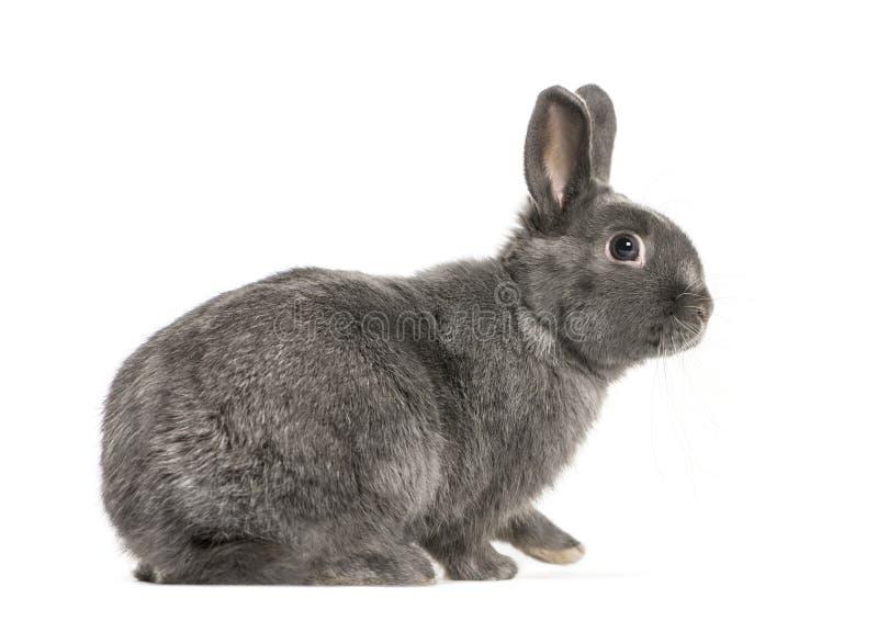 在白色背景前面的矮小兔子 免版税图库摄影