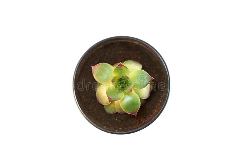 在白色背景罐顶视图的仙人掌植物隔绝的 succulentus 免版税库存图片
