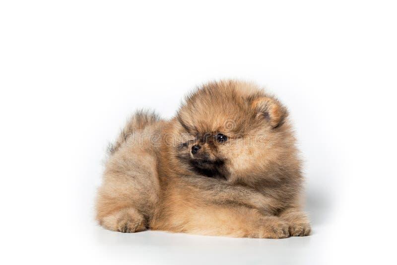在白色背景的波美丝毛狗小狗 免版税库存图片