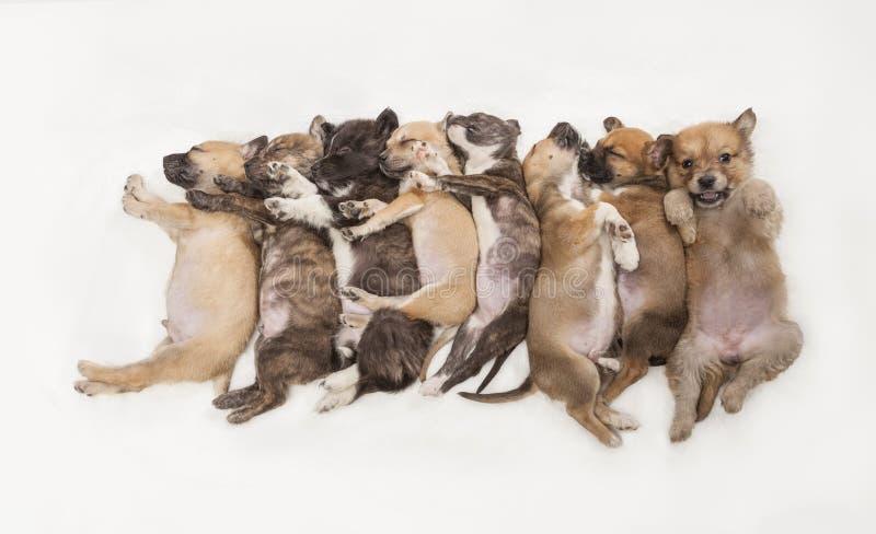 在白色背景的甜八只小的睡觉小狗 库存图片