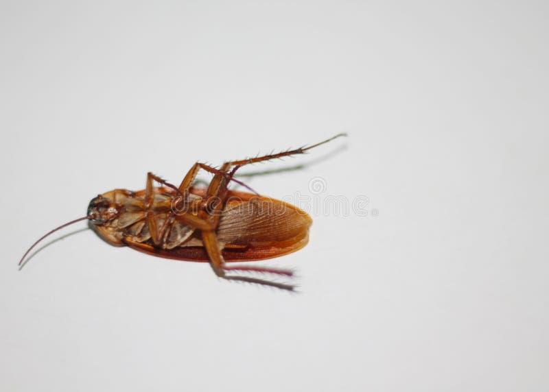 在白色背景的蟑螂 免版税库存照片