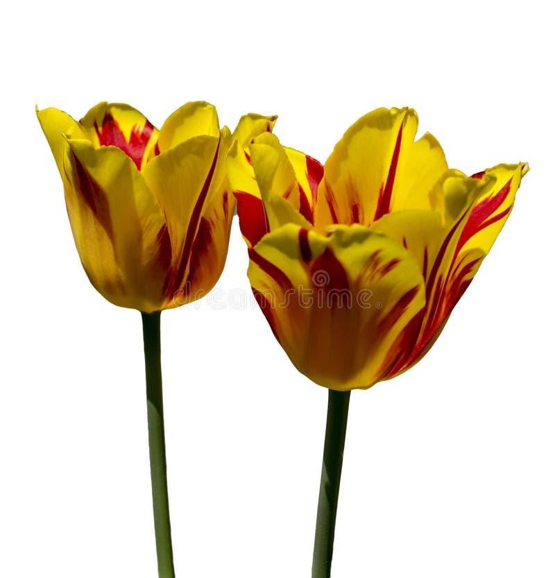 在白色背景的黄色红色郁金香 查出 免版税库存照片