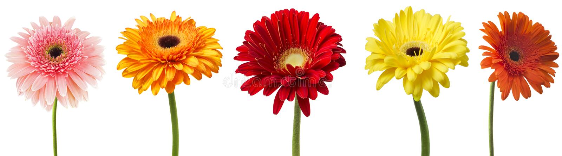 在白色背景隔绝的五颜六色的大丁草花大丁草jamesonii的大选择 各种各样红色,黄色,橙色,桃红色 免版税图库摄影
