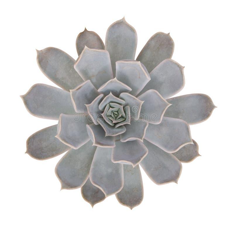 在白色背景隔绝的多汁仙人掌花热带植物顶视图,裁减路线 免版税库存图片