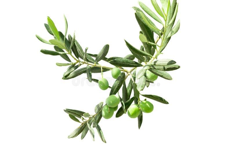 在白色背景隔绝的分支的绿色小橄榄 库存照片