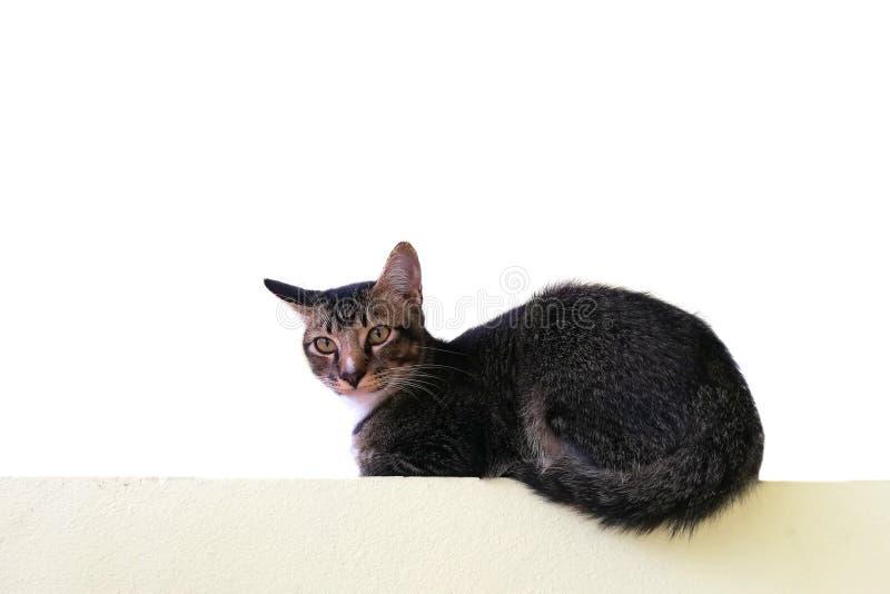 在白色背景隔绝的棕色目的猫画象 免版税库存照片