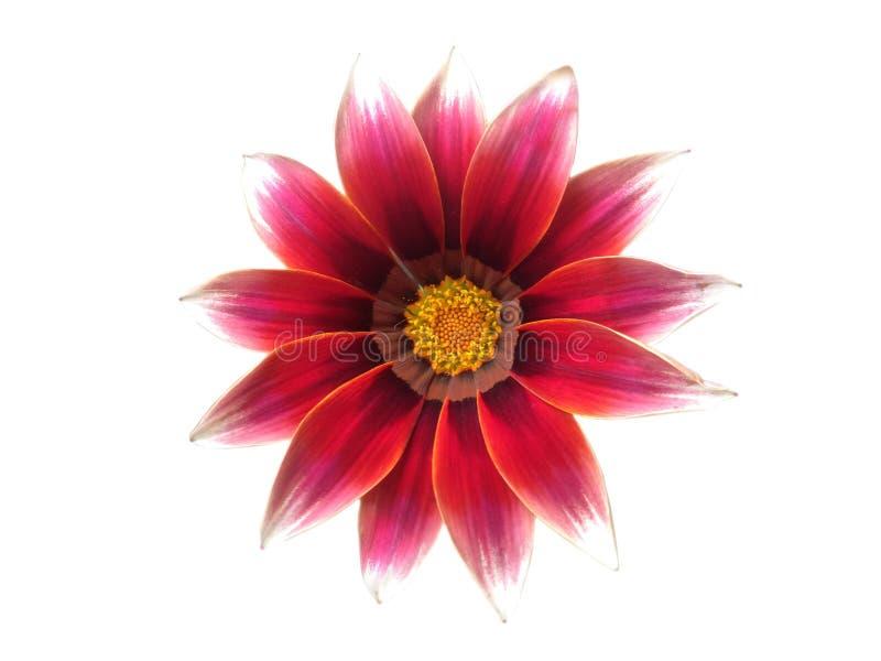 在白色背景隔绝的红色花杂色菊属植物照片 库存图片
