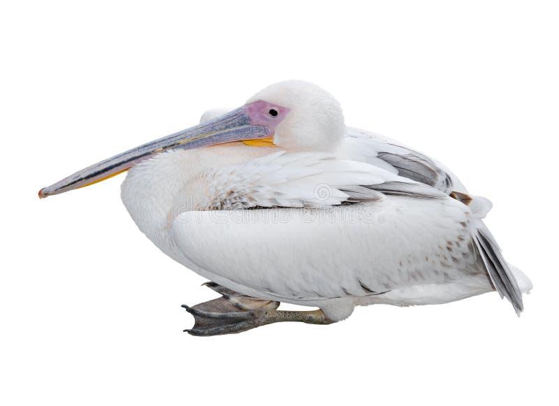 在白色隔绝的大美好的白色鹈鹕谎言 滑稽的逗人喜爱的动物园鸟 鹈鹕-在白色的大水禽 库存图片