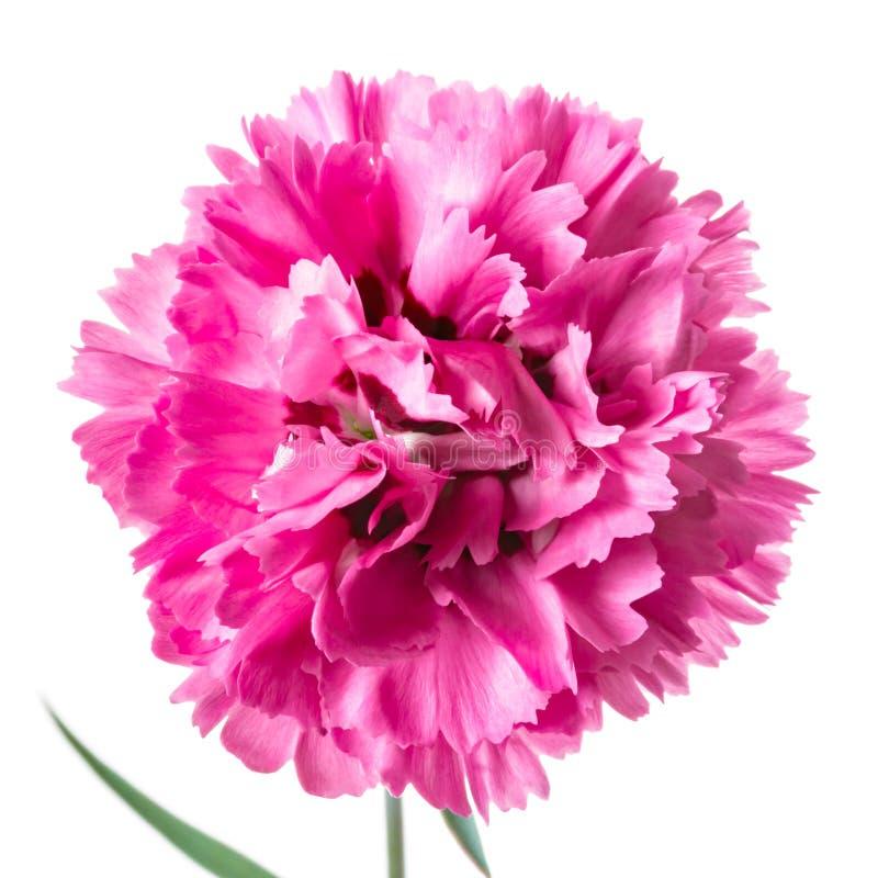 在白色隔绝的唯一桃红色顶头康乃馨花 图库摄影