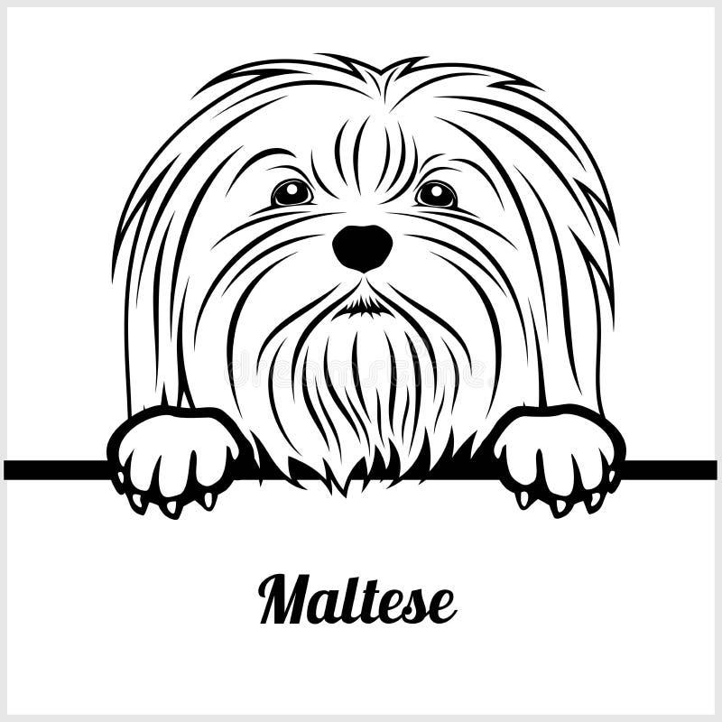 在白色隔绝的马尔他-偷看狗- -品种面孔头 皇族释放例证
