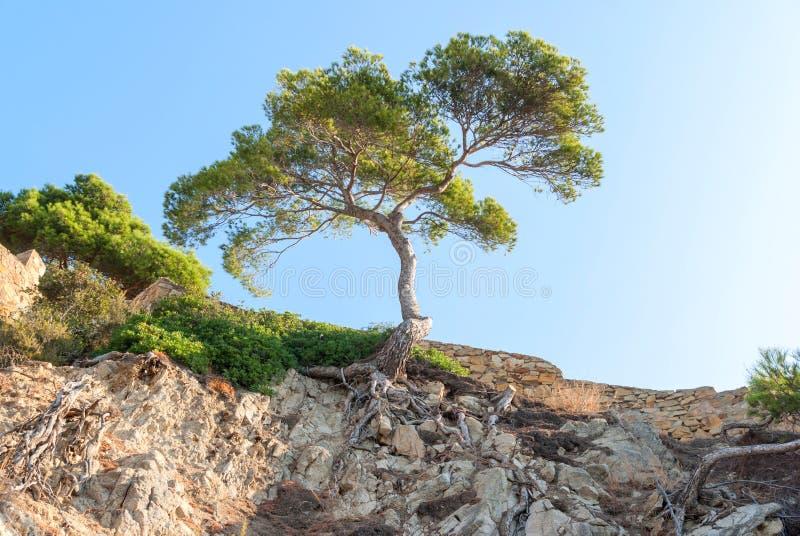 在用干燥植物和根盖的峭壁的树在加泰罗尼亚西班牙 免版税库存照片