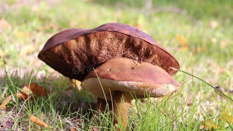 在草坪的被日光照射了棕色蘑菇 库存图片