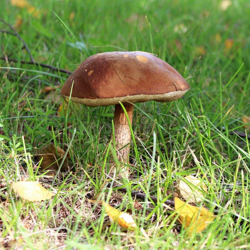 在草坪的被日光照射了棕色蘑菇 库存照片