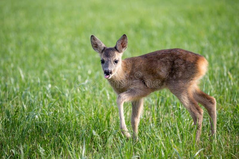 在草,狍属狍属的幼小野生狍 库存照片