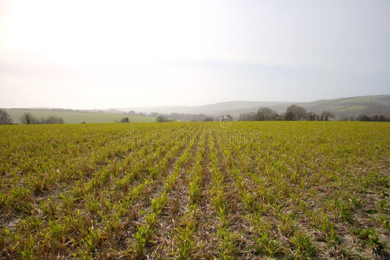 在行在南英国种植了一英亩的五谷植物 图库摄影