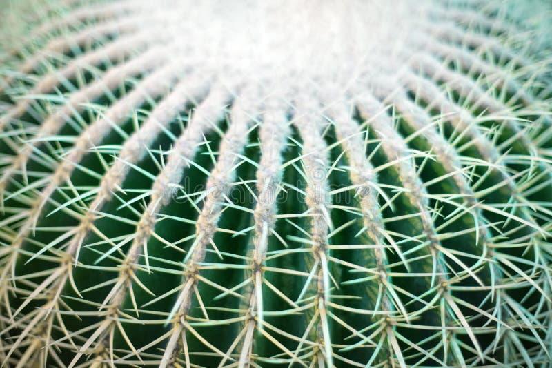 在被弄脏的背景顶视图,与长的锋利的刺的仙人掌纹理的一个大绿色回合美好的仙人掌特写镜头宏指令 库存图片