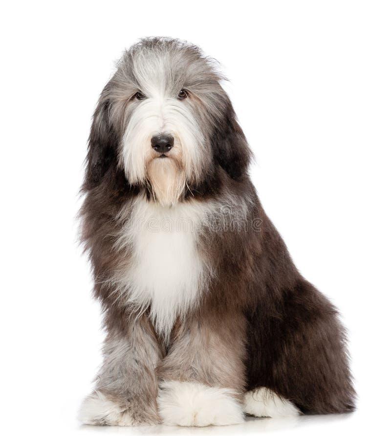 在被隔绝的白色背景的有胡子的大牧羊犬狗 免版税库存图片