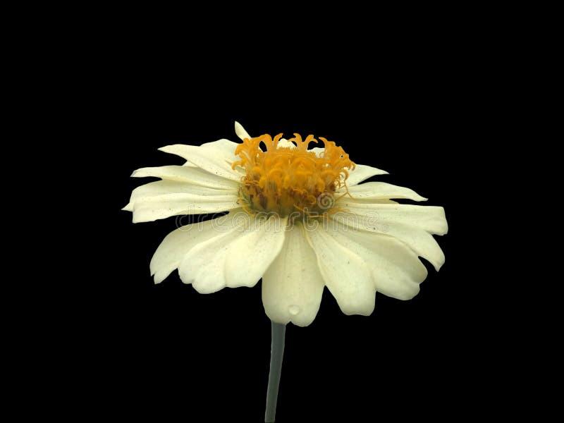 在被隔绝的黑背景的奶油色黄色花 雏菊 图库摄影