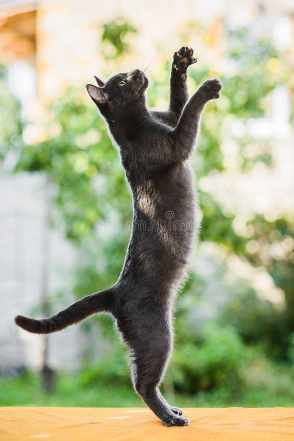 在跃迁的俄国蓝色猫飞行上流,寻找追逐鸟 库存图片