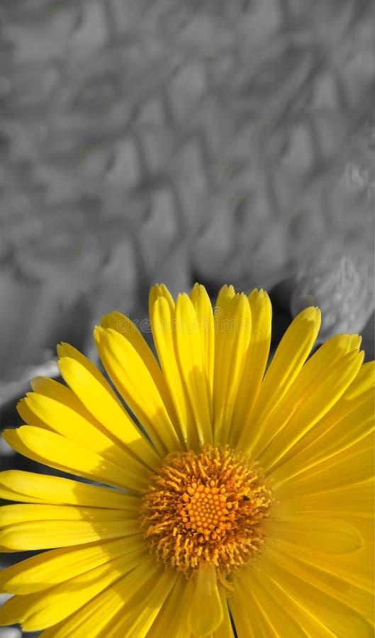 在迷离背景室的垂直的宏观黄色雏菊拷贝空间的 库存照片