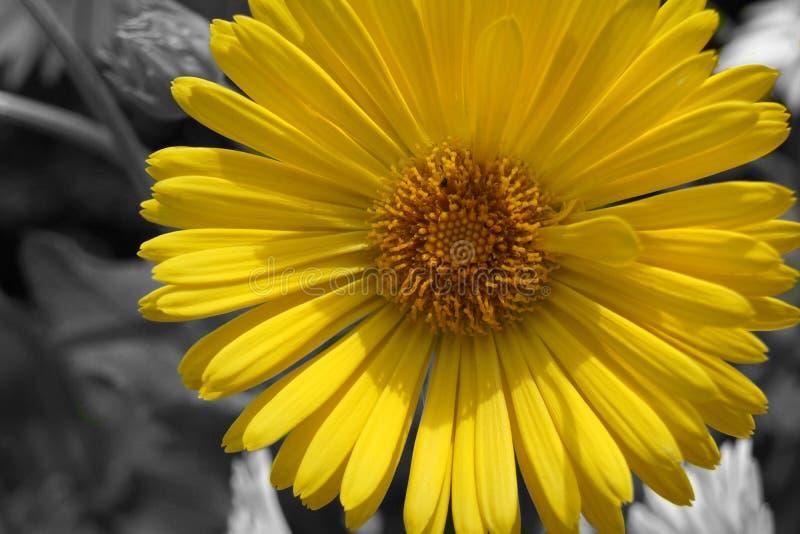 在迷离背景的宏观黄色雏菊 库存照片