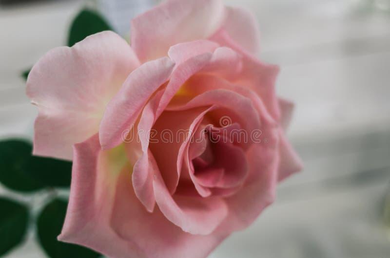 在迷离背景的桃红色玫瑰 库存照片