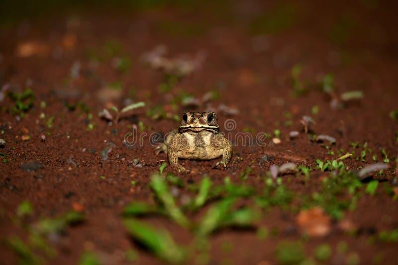 在这两个领土的居住的星称青蛙 图库摄影