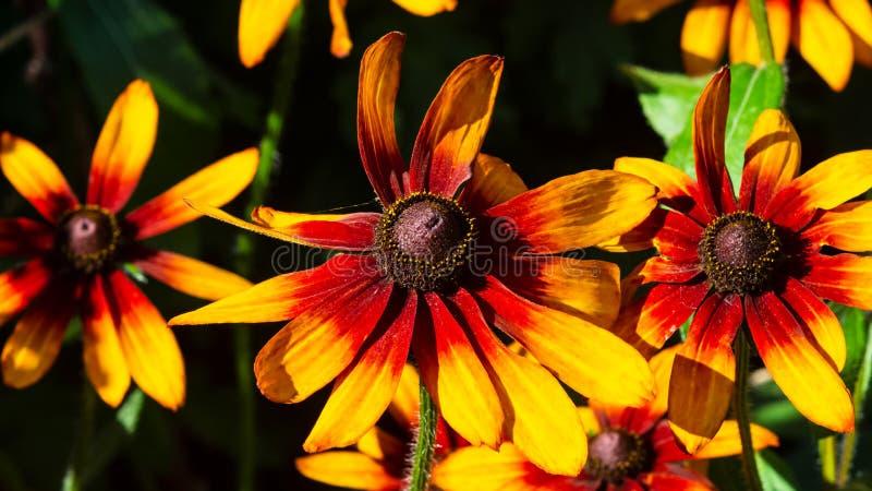 在花圃背景,选择聚焦,浅DOF的黑眼睛的苏珊,黄金菊hirta,红色和橙色花 免版税库存照片