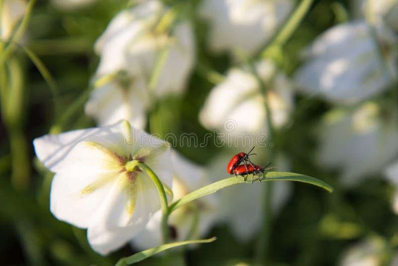 在花的两个臭虫 免版税库存照片