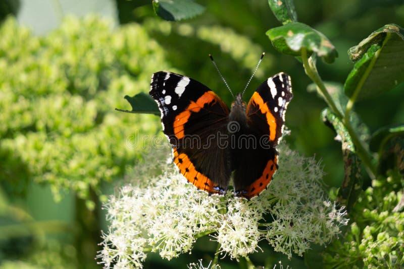 在花的蝴蝶 红色Zenia和蝴蝶荨麻疹 库存图片